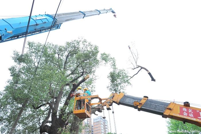 因为树枝较大,须另一台吊车进行吊挂,以免锯断后的树枝落地砸伤人.